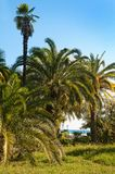 Palm trees in subtropics. Royalty Free Stock Image