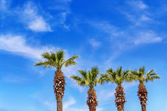 Palm trees in summer. Beautiful palm trees and clouds in summer Royalty Free Stock Image
