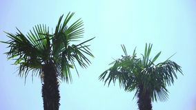 Palm trees in summer light breeze. Palm trees in summer light breeze in small motion with clear background sky stock footage