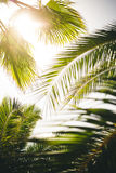 Palm trees. Stock Images