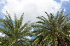 Palm trees in sunny blue sky with white cloud Stock Image