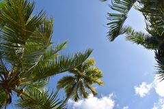Palm Trees on a sunny summer day – photographed from below. Palm Trees on a sunny summer day with a blue sky and clouds – photographed from below royalty free stock photo