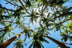 Palm trees in sunny weather. Reunion island royalty free stock photography