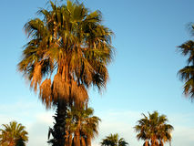 Palm trees by sunset Royalty Free Stock Photo