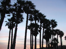 Palm trees at sunset. Palm Trees silhouetted against the dusk sky stock photo
