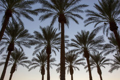 Palm Trees at Sunset. In the Arizona desert Stock Photo