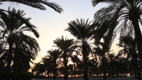 Palm trees at sunset in a city park stock video