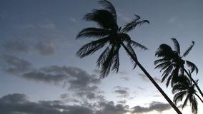 Palm Trees at Sunset - Clip 2. Palm tree in Maui Hawaii.  Shot with a Sony EX3 stock video footage