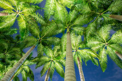 The palm trees during the sunset hours Royalty Free Stock Image