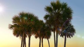 Palm trees at sunset light. Palm trees sunset golden blue sky backlight in mediterranean. Beach on the tropical island. Palm trees at Santa Monica beach. Tops of stock video