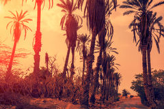 Palm trees at sunset light. Landscape with palm trees at sunset light Royalty Free Stock Photo