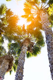 Palm trees at sunset light. Vertical photography Stock Photos