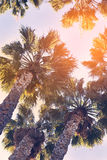 Palm trees at sunset light. Vintage. Vertical photography. Los A Stock Image