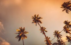 Palm trees on sunset. Palm trees in sunset, beautiful exotic trees over evening sky background, abstract natural background, summer vacation on tropical resort Royalty Free Stock Image