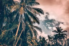 Palm trees on sunset. Grunge style photo of a many fresh palm trees on cloudy overcast sky background, beautiful nature of tropical island, Bali Royalty Free Stock Photos