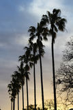 Palm trees at sunset. Silhouettes of palm trees at sunset Stock Images