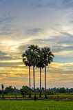 Palm trees in the sunset Stock Images