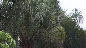 Palm trees swaying in rainstorm. A group of plam trees are seen swaying in the wind created by a heavy tropical rainstorm during rainy season in naples florida stock footage