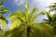 Palm trees in Tahiti Stock Photos