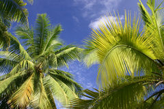 Palm trees in Tahiti Stock Image
