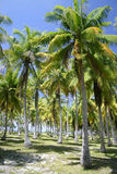 Palm trees in Tahiti Royalty Free Stock Photo