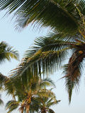 Palm trees in Thailand. Palm trees in Rayong Province, Thailand Stock Photos