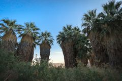 Palm trees at Thousand Palms Oasis Preserve. Large palm trees at the Thousand Palms Oasis Preserve in Coachella Valley, California royalty free stock images