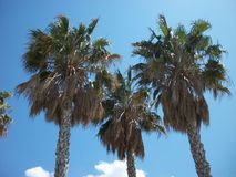 The Palm Trees Three Royalty Free Stock Photography
