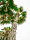 Palm trees tops Stock Image