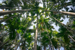 Palm trees tower against the blue sky. A thick palm forest to tropical jungle. Bottom view of high palm trees. Royalty Free Stock Images