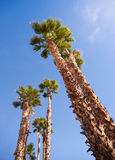 Palm Trees Towering into the Blue Sky Palm Springs Stock Image