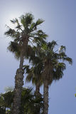 Palm trees. Palm tree with blue sky background Royalty Free Stock Photo