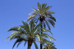 Palm trees. Palm tree with blue sky background Royalty Free Stock Photos