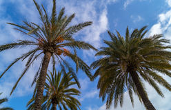Palm trees. Tree palm trees with blue sky with scattered clouds stock photography
