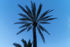 Palm trees. Palm tree in front of blue sky stock photo