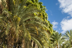 Palm trees - treetop Royalty Free Stock Photos
