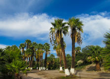 Palm trees in tropic city park. Palm trees with white bottom in tropic city park stock photo