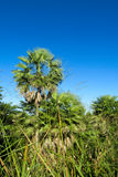 Palm trees in tropic Royalty Free Stock Image