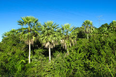 Palm trees in tropic Stock Photography