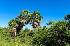 Palm trees in tropic Royalty Free Stock Photography