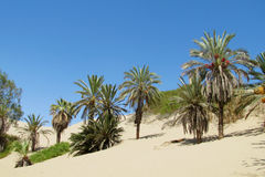 Palm trees in tropical desert Royalty Free Stock Photography