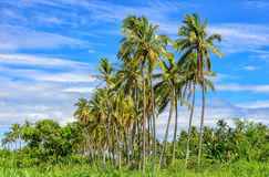 Palm trees in a tropical forest Royalty Free Stock Images