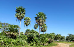 Palm trees in tropical forest Stock Images