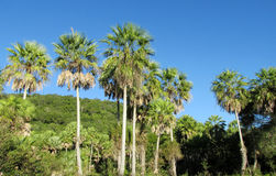 Palm trees in tropical forest Royalty Free Stock Photography