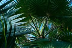 Palm trees in a tropical garden.  Stock Photo