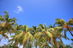 Palm trees of the tropical island Stock Photos