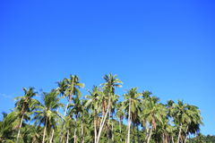 Palm trees of the tropical island.  Stock Photo