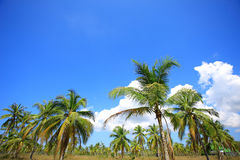 Palm trees. Of the tropical island Stock Image