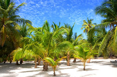 Palm trees on tropical island Saona. Coconut palm trees on the tropical island Saona, Dominican Republic Royalty Free Stock Image