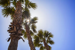Palm trees with tropical sunshine and summer blue sky. Royalty Free Stock Image
